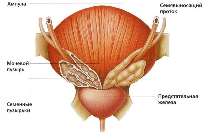 Размер и объем предстательной железы у мужчин — норма