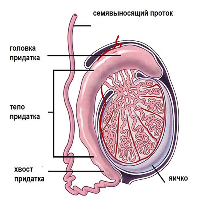 анатомия придатка яичек