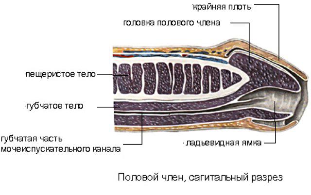 особенности строения пениса