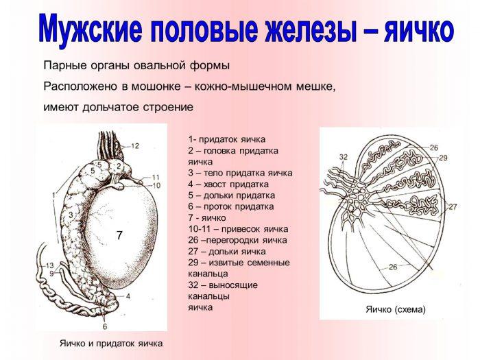 как выглядит мужское яичко
