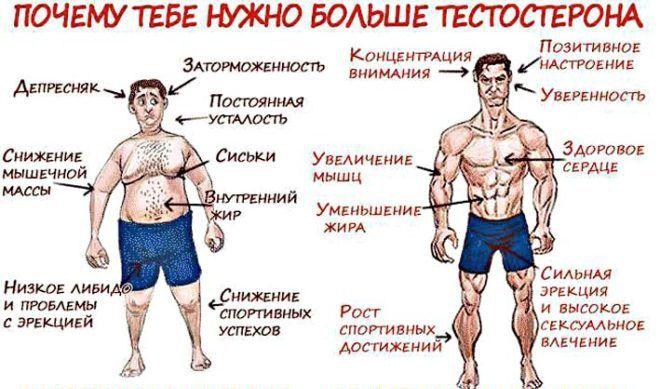 ункции тестостерона